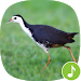 Download Appp.io - White-breasted waterhen Calls 1.0.3 APK