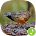 Download Barred buttonquail Calls 1.0.4 APK