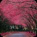 Download Sakura Live Wallpaper 1.4 APK